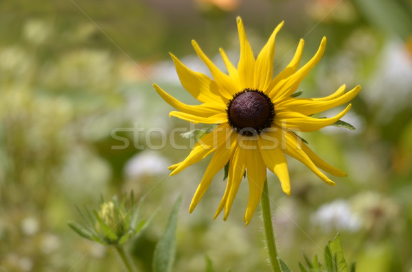 Single coneflower Stock photo © Musat
