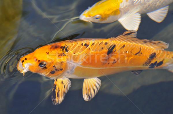 オレンジ 鯉 ニシキゴイ クローズアップ 青 口 ストックフォト © Musat