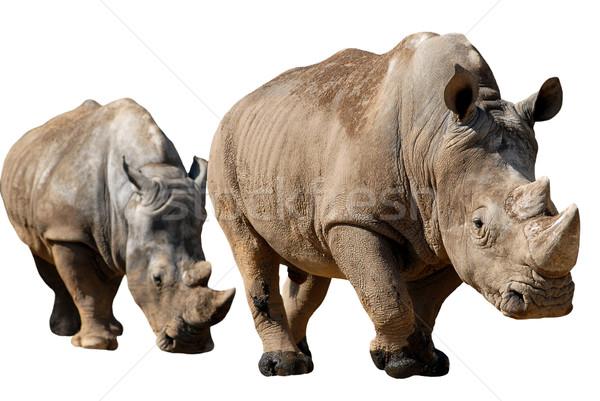 Isolated two white rhinoceros Stock photo © Musat