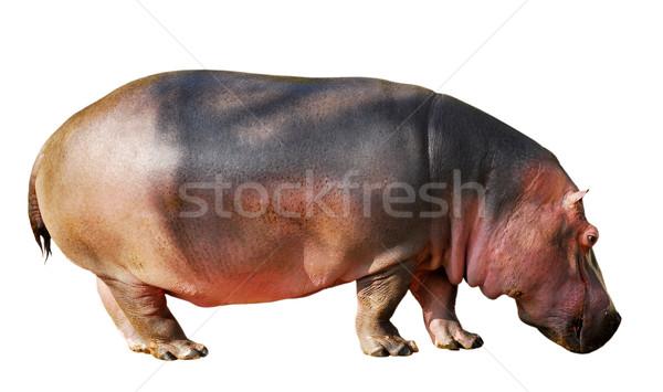 Isolated hippopotamus Stock photo © Musat