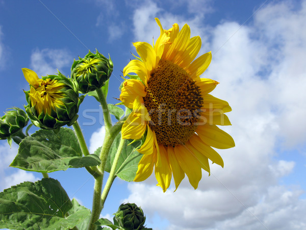 sunflowers in the sky Stock photo © Musat