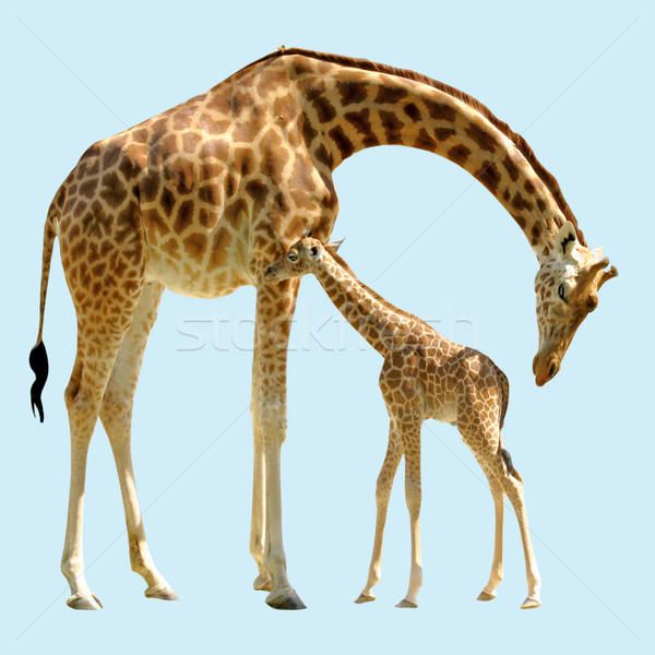 Isolated giraffe and baby Stock photo © Musat