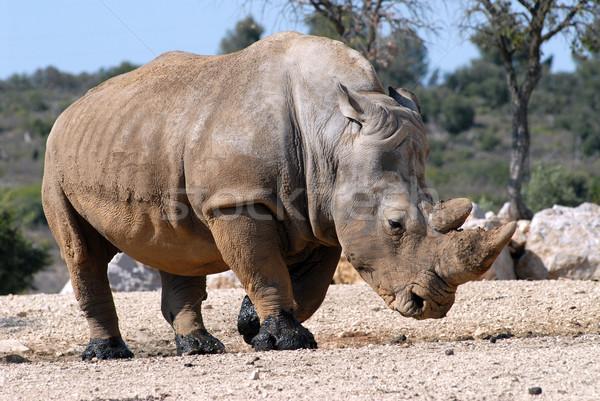 Foto stock: Branco · rinoceronte · caminhada · perfil · terreno