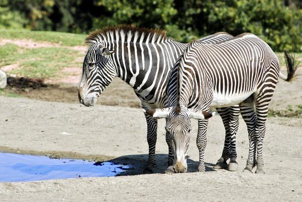 Two Grevy zebras near a pond Stock photo © Musat