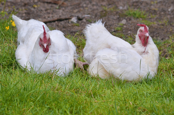 Two white hens Stock photo © Musat