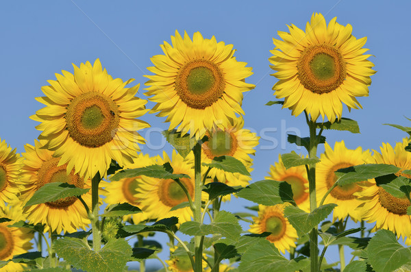 Closeup sunflowers Stock photo © Musat
