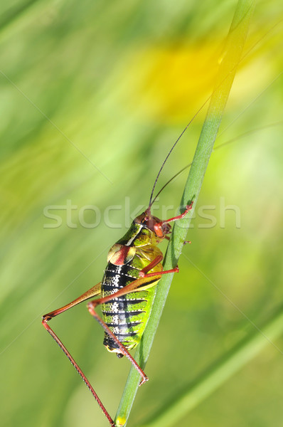 Grasshopper on stalk Stock photo © Musat