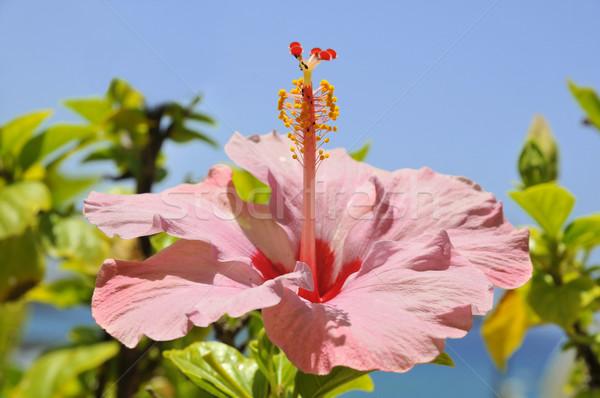 Pembe ebegümeci çiçek makro mavi gökyüzü gökyüzü Stok fotoğraf © Musat