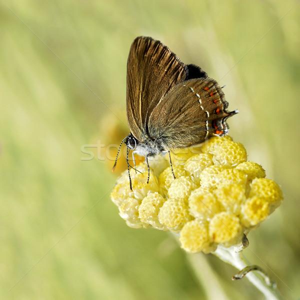 Kelebek sarı çiçek makro profil doğa Stok fotoğraf © Musat