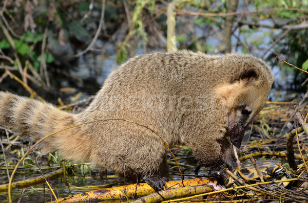 Ring-tailed Coati eating a turtle Stock photo © Musat