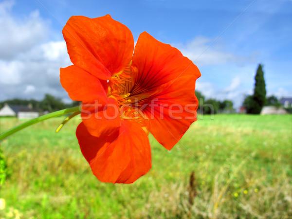 Kırmızı çiçek makro gökyüzü doğa mavi Stok fotoğraf © Musat