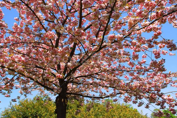 Cherry tree in flowers Stock photo © Musat