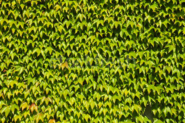 Japonais vert fond usine escalade lierre Photo stock © Musat