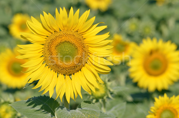 Zonnebloem bloem groene plant landbouw Stockfoto © Musat