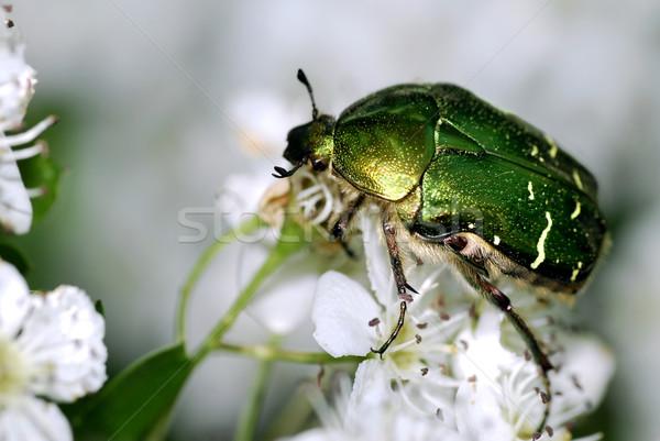 Cetonia beetle on white flower Stock photo © Musat