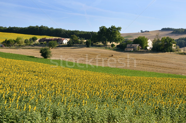 Sunflower field Stock photo © Musat