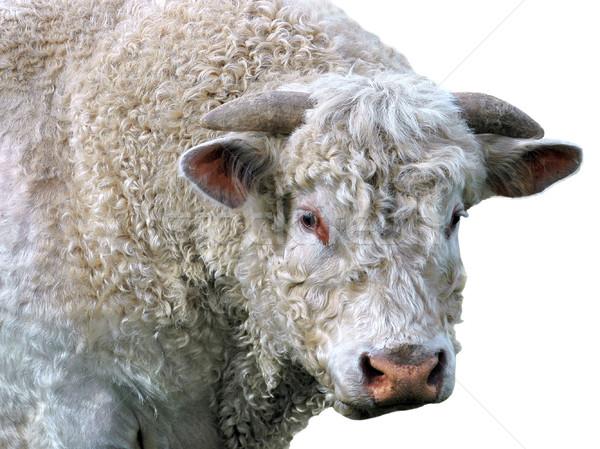 Geïsoleerd stier portret gekruld bont witte Stockfoto © Musat
