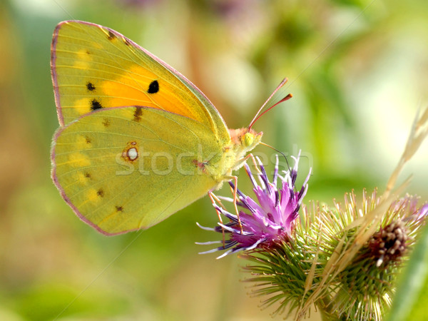 Clouded yellow butterfly feeding on flower Stock photo © Musat