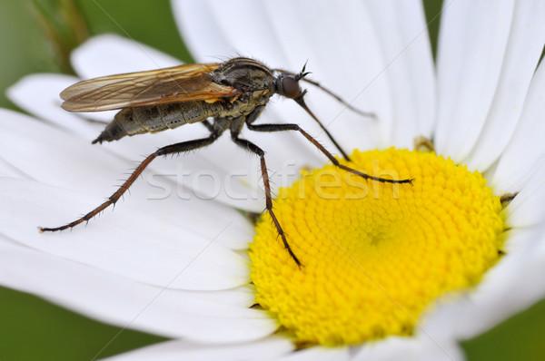 Uçmak papatya çiçek makro kalp Stok fotoğraf © Musat