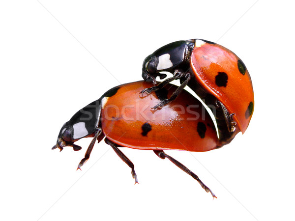 Isolated mating of lady bugs Stock photo © Musat