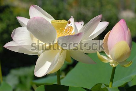 Sacré blanche feuille vert Photo stock © Musat
