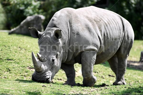 White rhinoceros grazing Stock photo © Musat