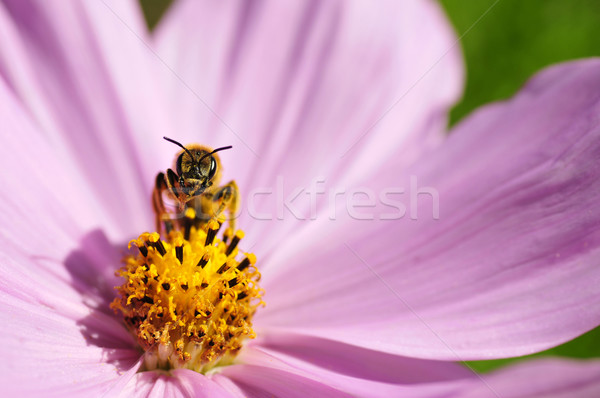 Hymenoptera on cosmos flower Stock photo © Musat
