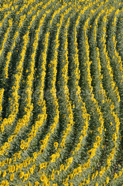 Aerial view of sunflower field Stock photo © Musat
