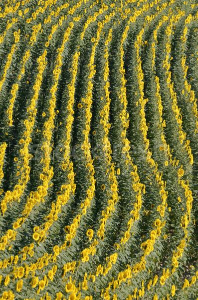 Ayçiçeği alan çiçek çiçekler doğa Stok fotoğraf © Musat
