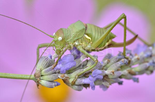 Sprinkhaan lavendel bloem macro groene vrouwelijke Stockfoto © Musat