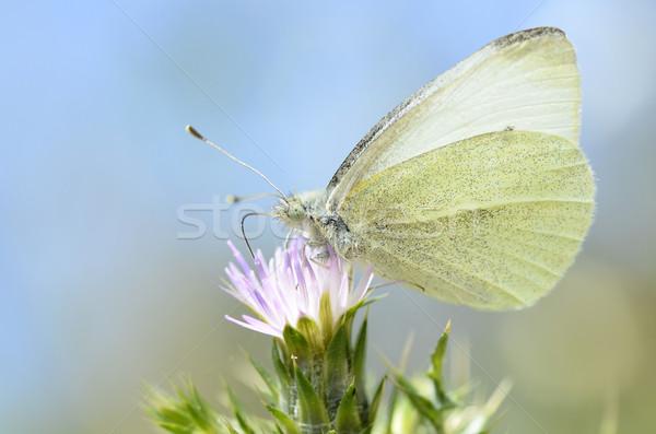 Vlinder bloem macro natuur Blauw Stockfoto © Musat