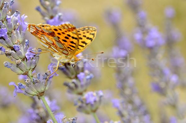 Koningin Spanje vlinder lavendel macro bloem Stockfoto © Musat