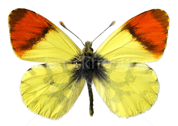 孤立した モロッコ オレンジ 蝶 白 眼 ストックフォト © Musat