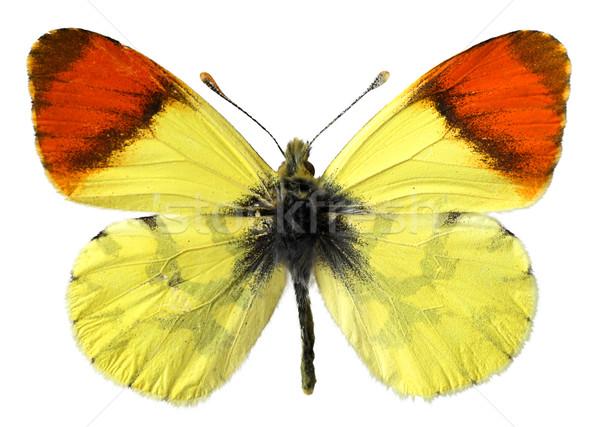 Isolé Maroc orange papillon blanche oeil Photo stock © Musat