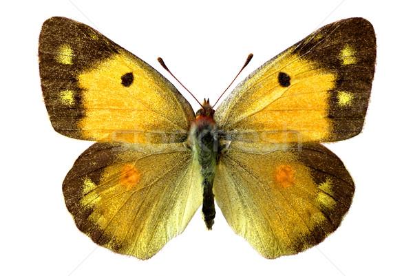 Yalıtılmış kelebek kadın beyaz doğa turuncu Stok fotoğraf © Musat