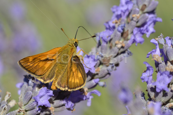 Small skipper butterfly on lavender Stock photo © Musat