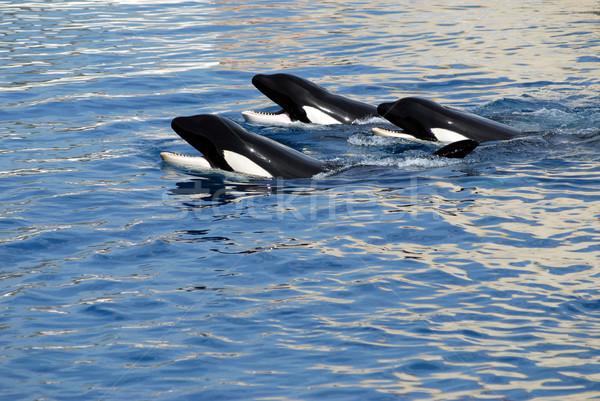 üç katil yüzme su deniz okyanus Stok fotoğraf © Musat