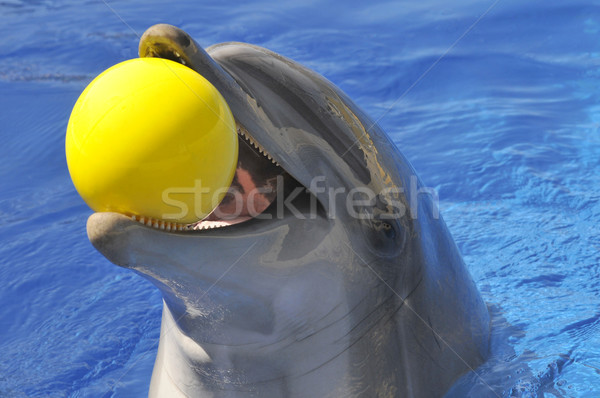 Portrait dolphin with a ball in the mouth Stock photo © Musat