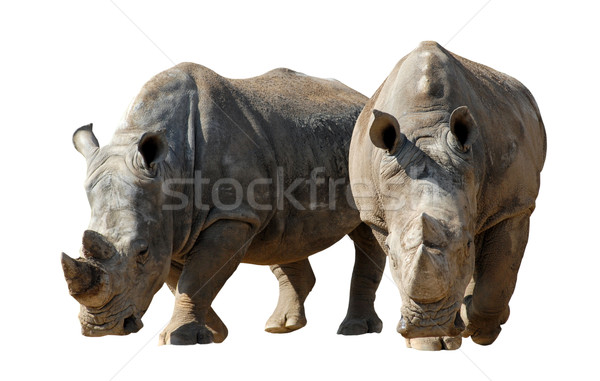 Geïsoleerd twee witte neushoorn lopen natuur Stockfoto © Musat