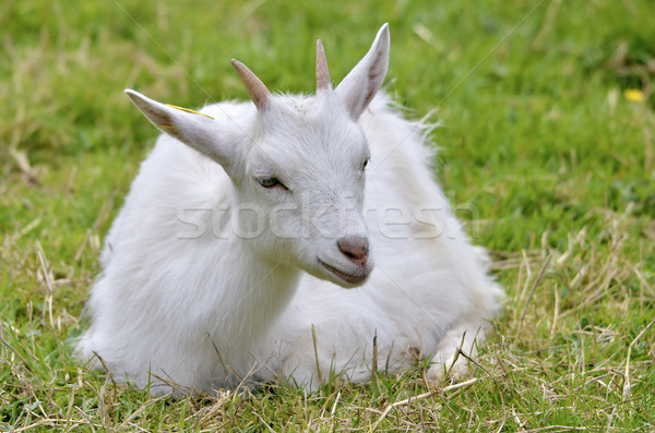 White goat lying on grass Stock photo © Musat