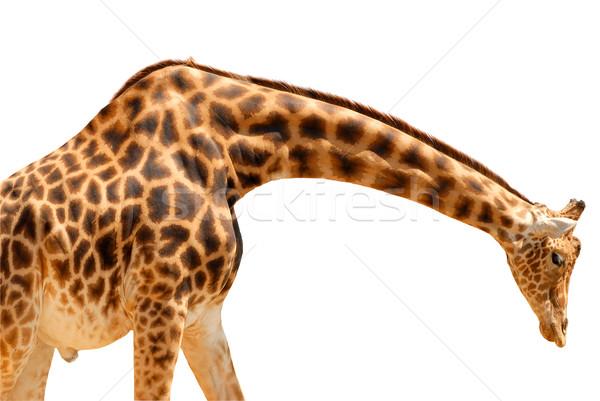 Yalıtılmış zürafa testere profil kafa Stok fotoğraf © Musat