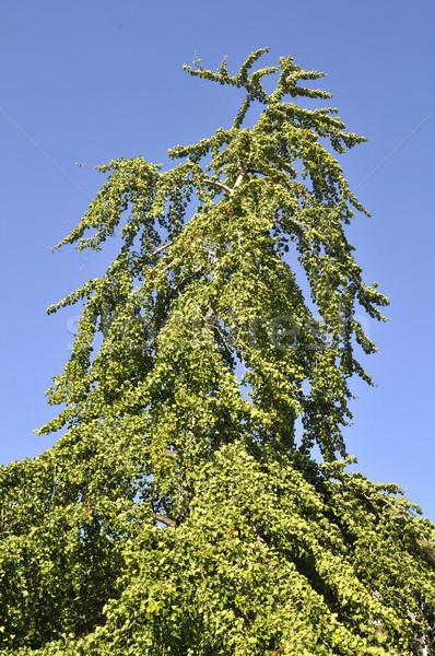 Ağaç mavi gökyüzü ahşap orman mavi bitki Stok fotoğraf © Musat