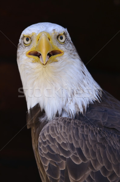 Portrait of African fish eagle Stock photo © Musat