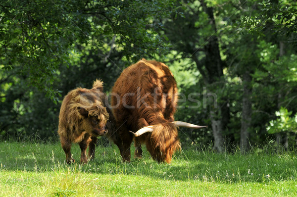 Stock photo: brown cows with long hair