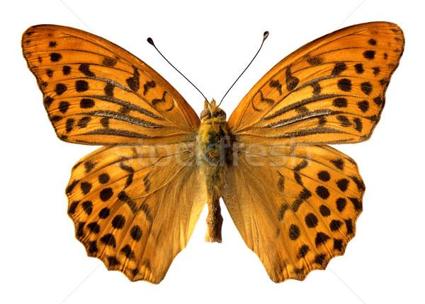 Yalıtılmış kadın makro kelebek beyaz doğa Stok fotoğraf © Musat
