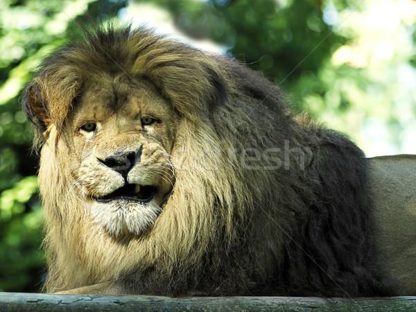 Retrato león primer plano cara mueca Foto stock © Musat