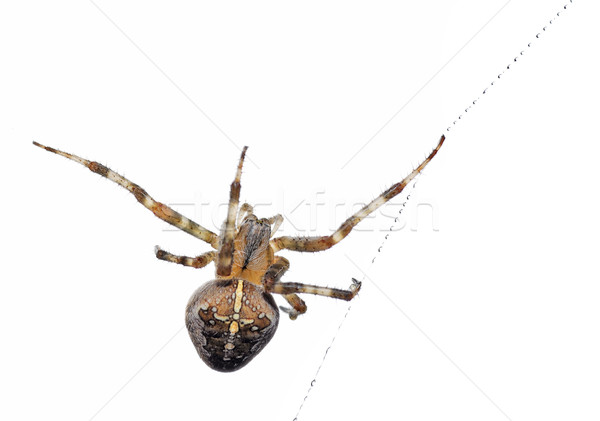 Isolated cross spider Stock photo © Musat