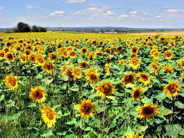 Foto stock: Girassol · campo · amarelo · flor · céu · flor