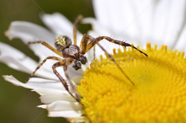 örümcek papatya çiçek makro büyük sarı Stok fotoğraf © Musat