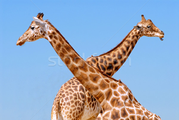 Two giraffes Stock photo © Musat